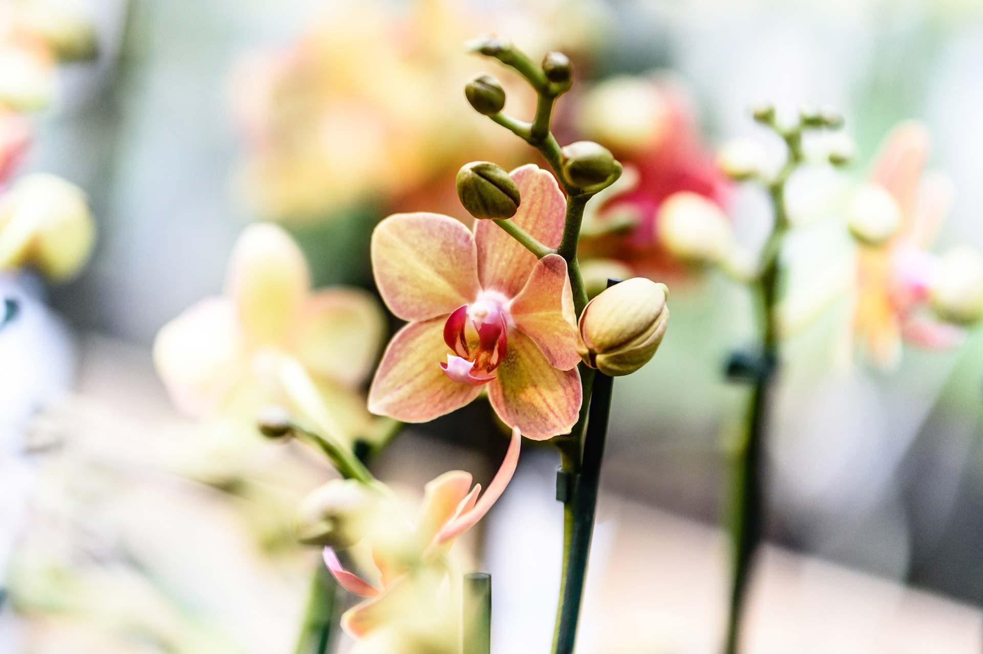 Scheerer Baumschulen & Gartencenter in Langenau/ Albeck, Baden Württemberg, Pflanzenmarkt, Produkvielfalt, Pflanzen, Orchide, Zimmerpflanze